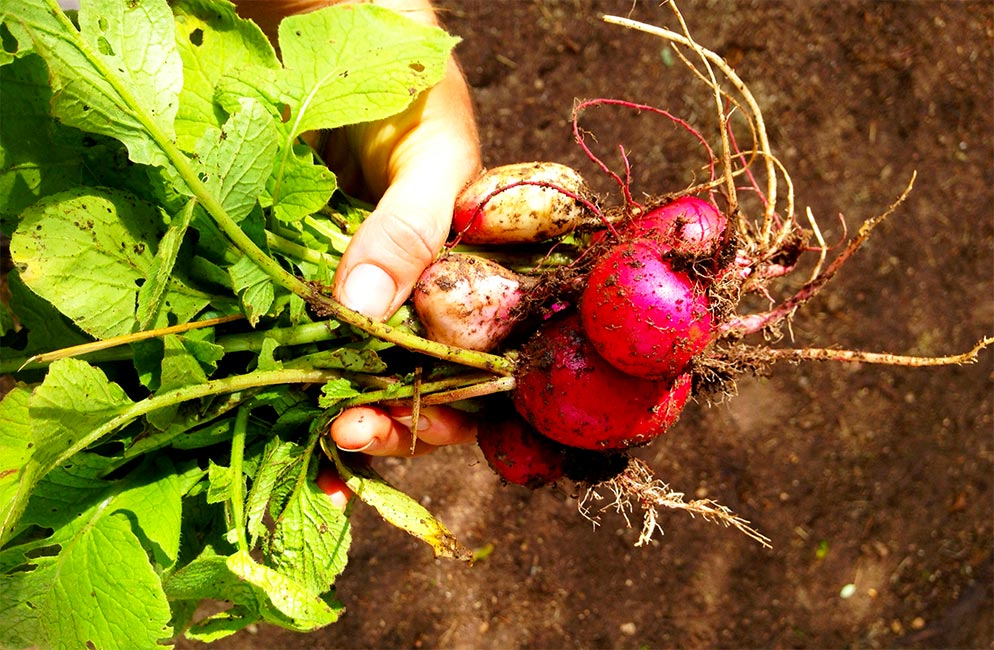 radishes-in-hand