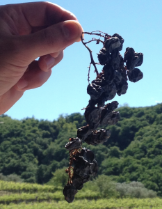 Dried Corvina Grape