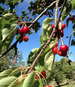 Cherries at Faetinni